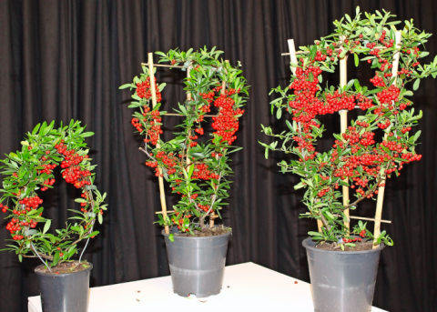 Pyracantha coccinea 'Red Star